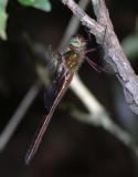 Neocordulia Cordulid