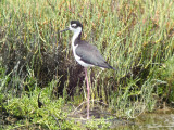 Black-necked Stilt (male)
