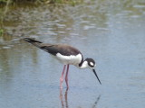 Black-necked Stilt ( female )