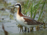 Wilson's Phalarope ( Female breeding )