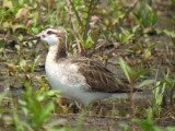 Wilson's Phalarope ( Male breeding )
