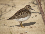 Least Sandpiper ( adult )