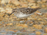 Least Sandpiper ( adult breeding )