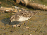 Least Sandpiper ( adult non breeding )