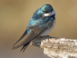 swallows_and_swifts