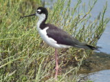 Black -necked  Stilt ( male )