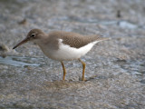 Spotted Sandpiper (non breeding )