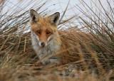 >> Danish Mammals <<