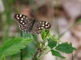 >> Butterflies <<