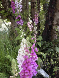 watercolourFoxgloves_110602.jpg