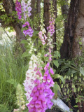 originalFoxgloves_110602.jpg