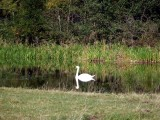 Reflecting swan