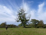 Magnificent oak tree in Twyi meadows