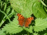 Comma butterfly basking in Llandyfeisant Churchyard