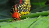 Caterpillar of Spurge Hawk-moth