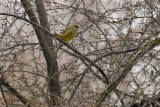 Carduelis chloris /9/ Greenfinch