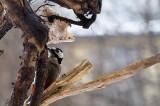 Dendrocopos major  ,Dzieciol duzy -Great Spotted Woodpecker