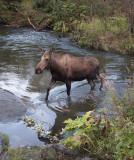 Moose crossing Campbell Creek