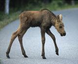 The Urban Moose