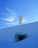 Shaded Yucca