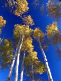 Fall Aspen