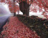 Maple Tree and Stone Fence