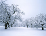 Snow Covered Apple Orchard