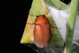 Brown Chafer, Serica brunnea, Natoldenborre 2