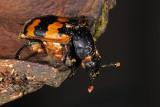 Burying beetle, Nicrophorus vespillo, Krumbenet ådselgraver 2