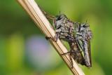 Tolmerus atricapillus 1