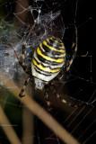 Wasp spider, Argiope bruennichi, Hvepseedderkop 1