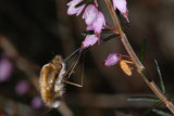Bee Fly, Bombylius major, Stor humleflue 1