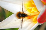 Bee Fly on tulip, Bombylius major, Stor humleflue 1