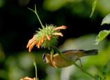 Rusty Flowerpiercer