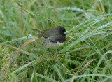 Yellow-bellied Seedeater