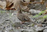 Ecuadorian Ground-Dove2