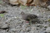 Ecuadorian Ground-Dove3
