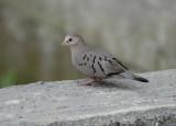 Ecuadorian Ground-Dove4