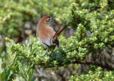 White-chinned Thistletail4