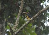 Many-banded Aracari3