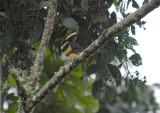 Many-banded Aracari4