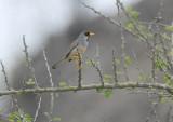 Buff-bridled Inca-Finch3