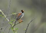 Buff-bridled Inca-Finch4