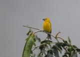 Southern Yellow-Grosbeak
