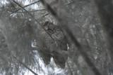 Koepcke's Screech-Owl2