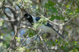 White-tailed Jay3