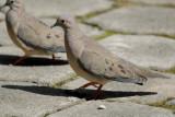 Eared Dove2
