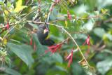 Black Flowerpiercer2