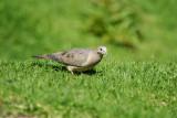 Eared Dove4