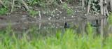 Muscovy Duck and Sunbittern